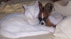 My Papillon Moxie and cat Kricket cuddling!