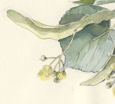Lime tree watercolor pencil drawing 1/2015 Botanical by CATILUSTRE