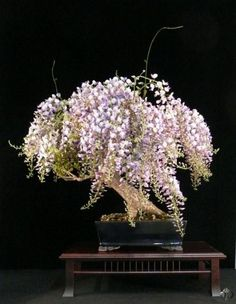 bonsai de glycine en fleurs par Heike van Gunst