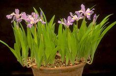 Iris cristata AGM