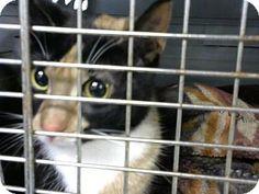 Philadelphia, PA - Domestic Shorthair. Meet Erica, a cat for adoption. http://www.adoptapet.com/pet/17280482-philadelphia-pennsylvania-cat