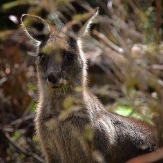 Kangaroo is perfectly camouflaged!  #kangaroos#angleseagolfcourse #nativeanimalsofaustralia #camouflage #nature #natureshots #naturelovers #nature_captures #marsupials #marsupialsofinstagram #naturephotography #nature_brilliance #australiagram_vic #anglesea #wildlife_perfection by sumaryb http://ift.tt/1KosRIg