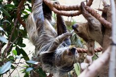 Sloth hanging out -  Two sloth hanging around having a snack at chester zoo  via http://flic.kr/p/JB6D1t