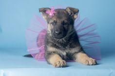 Sunny, Martha & Santo pup, goldenhausk9.com