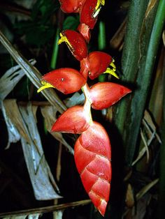 http://fm2.fieldmuseum.org/plantguides/jpgs/HELI-heli-pogo-pan-rf17.jpg