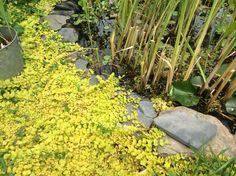 Creeping Jenny Koi Pond Plant Aquatic Plant cuttings Ready for You to Root | eBay