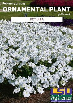 Plant spreading petunias 18 inches apart and clumping petunias 12 inches apart in the landscape. Avoid planting too deep. Soil should be slightly acid and well-drained and amended with organic matter, such as new landscape bed soil. Fertilize at planting with a slow-release fertilizer. Irrigate petunias a couple times weekly to establish them and then once every seven to 10 days when rainfall is lacking.