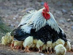 Our pet chicken protecting her baby chicks! Mother hens protecting chicks from dogs, cats, hawk and the weather. Cute baby chicks play, chirp and eat in this. Beautiful Chickens, Beautiful Birds, Animals Beautiful, Farm Animals, Animals And Pets, Cute Animals, Hens And Chicks, Baby Chicks, Hen Chicken