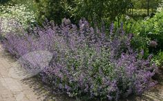 Buy catmint Nepeta 'Six Hills Giant': Delivery by Crocus.co.uk