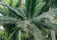 Tropical Palm Trees #Hurricane palm