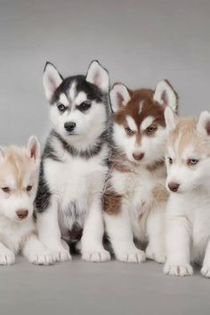 Blonde,black, and red husky.