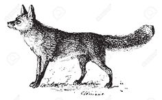 13766545-Fox-vintage-engraved-illustration-Dictionary-of-words-and-things-Larive-and-Fleury-1895--Stock-Vector.jpg (1300×806)