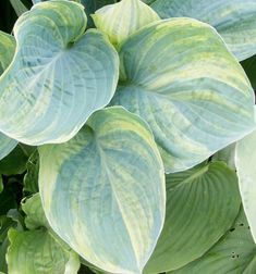 Hosta 'Valley's Mourning Sun' -