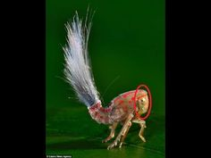 Crazy-Looking exotic insects animals beautiful, beautiful bugs, beautiful creatures, amazing nature Cool Insects, Bugs And Insects, Weird Insects, Beautiful Bugs, Amazing Nature, Beautiful Creatures, Animals Beautiful, South American Rainforest, Especie Animal