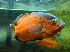 oscar fish | Gallery | oscar fish