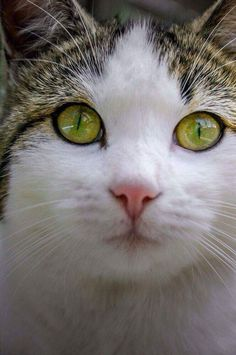 Twin Sisters, Iriss and Abyss, Are Cats With Stunning Heterochromic Pretty Cats, Beautiful Cats, Lovely Eyes, Crazy Cat Lady, Crazy Cats, Animals And Pets, Cute Animals, Animal Gato, Son Chat