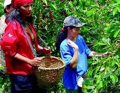 coffee plantation tour puerto rico