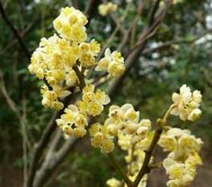 -BLEN: Aromaterapia- Litsea Cubeba Rectified ESSENTIAL OIL #soapmaking