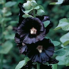 Black flowers are very unique in appearance, and because they are rare, dark-colored blooms can add instant intrigue to any garden or bouquet. They have also been around for centuries, alluring people and attracting flower lovers. For flower breeders, pure black flowers are a Holy Grail. In Edwardian and Victorian times, a lot of people collected black flowers and would even go many lengths just to find the rarest and most exotic species.