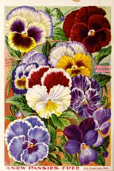 Illustrated page of pansies Ruby Red Empress Augusta Victoria Fairy Queen Papilio Bismark Pansies from Childs Rare Flowers Vegetables and Fruits 1900 anniversa. Vintage Diy, Vintage Ephemera, Vintage Cards, Vintage Postcards, Vintage Images, Rare Flowers, Vintage Flowers, Exotic Flowers, Purple Flowers