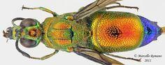 Chrysididae - Pesquisa Google