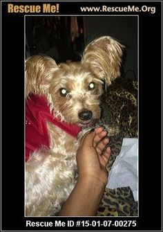 Tennessee Yorkie Rescue ― ADOPTIONS ― RescueMe.Org   I ...