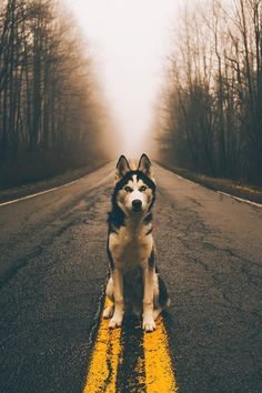"""Learn even more information on """"siberian husky puppies"""". Browse through our website. Animals And Pets, Funny Animals, Cute Animals, Animal Memes, Dog Photos, Dog Pictures, Beautiful Dogs, Animals Beautiful, Haski Dog"""