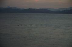 Baja California del Sur: Punta Chivato, cormorani in parata