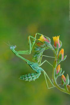 Mantis Fantasy by Paul Bratescu