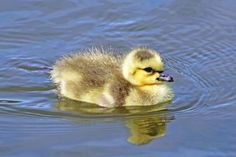 digitalmarbles posted a photo:  Barely able to walk this newborn Canada Goose gosling took to the water gracefully at the George C. Reifel Migratory Bird Sanctuary Delta BC Canada