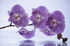 Orchid branch by Daykiney.deviantart.com on @DeviantArt