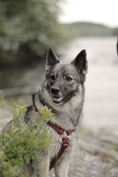 Norwegian Elkhound ♥ https://pagez.com/3532/33-facts-about-dogs