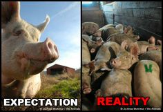 Expectation vs. Reality: Factory Farms, more here: http://peta.org/living/vegetarian-living/expectation-vs-reality-factory-farms.aspx #govegan #vegan #animals