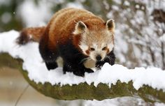 A red panda walks on a snowy branch at Cotswold Wildlife Park in Burford, western England