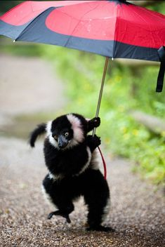Rain didn't stop play for this cheeky black-and-white-ruffed lemur at Dudley Zoological Gardens. The primate grabbed an umbrella from a visitor to the site's Lemur Wood - home to more than 30 free-roaming lemurs - and set off for a wander around the one-acre paddock.