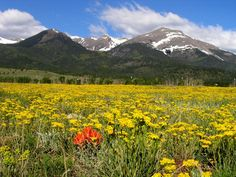 The way I first saw the Sangre de Cristo range at Westcliffe, CO - in spring with the valley floor FILLED with yellow like this! One of my favorite places in the whole state!