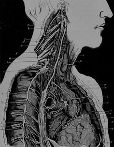 """James Bell Pettigrew - Nerve-Filaments supplied to the Heart by the Pneumogastric and Sympathetic Nerves on the right side in man, """"The Physiology of the Circulation"""", 1874."""