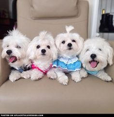 Latest Absolutely Free dogs and puppies maltese Strategies Perform you like your pet dog? Appropriate pet health care and instruction will guar Cute Puppies, Cute Dogs, Dogs And Puppies, Doggies, Cavachon Puppies, Little Dogs, I Love Dogs, Puppy Love, Animals And Pets