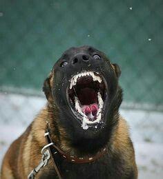 Berger Malinois, Belgian Malinois Dog, Military Working Dogs, Military Dogs, Belgian Shepherd, German Shepherd Dogs, Big Dogs, Dogs And Puppies, Doggies