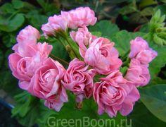 Zonal Geranium 'Australian Pink Rosebud' (Pelargonium x hortorum)