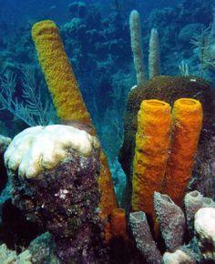 cnidarians | courtesy of: http://richard-seaman.com/Underwater/Belize/StillLifes ...