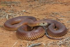 Top 10 Venomous Snakes in Australia. Including Signs and Symptoms – Innate Pets Top 10 Venomous Snakes in Australia. Including Signs and Symptoms – Innate P. Leesa Rose lmjrose Australia Top 10 Venomous Snakes in Australia. Inland Taipan, All About Snakes, Snake Venom, Python Snake, Alien Worlds, Australian Animals, Signs And Symptoms, Reptiles And Amphibians, The Venom