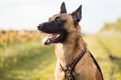 Meet Eïko a malinois on yummypets.com #dog #pet