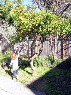 Meyer lemon tree! Smell the smells!