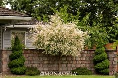 Monrovia's Dappled Willow details and information. Learn more about Monrovia plants and best practices for best possible plant performance.