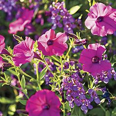 'Shock Wave Purple' Petunia and 'Serena Purple' Angelonia Flowers  March Flowers: Petunias, snapdragons, marigolds, nasturtiums, and dianthus; herbs: thyme, rose- mary, and oregano.  Divide NOW: Daylilies, Hostas, Shasta Daisies & Cannas