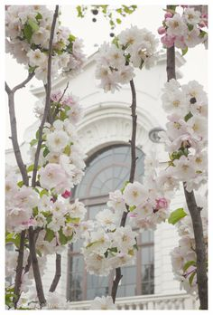 Cherry Blossoms in White, Paris
