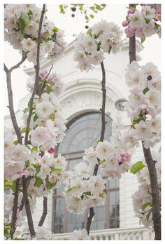 Cherry Blossoms in White, Paris - April in Paris, Montmartre, white, pink, pastel - 8x12 - Original Fine Art Photograph