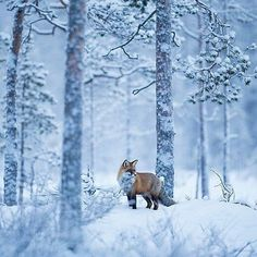 Red Fox in snowy forest Wildlife Photography, Animal Photography, Winter Photography, Photography Tips, Animals And Pets, Cute Animals, Animals In Snow, Wolf Hybrid, Fox Collection