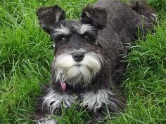 Our future puppy momma! Miniature Schnauzer